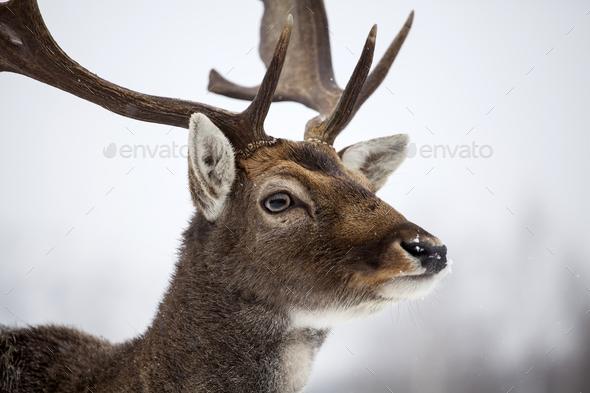 Deer in wintertime - Stock Photo - Images