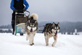 Sledding with husky dogs in Romania - PhotoDune Item for Sale