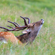 sika deer in the grass. Parc de Merlet, France - PhotoDune Item for Sale