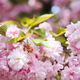 Cherry blossoming - PhotoDune Item for Sale