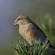 Parrot crossbill (Loxia pytyopsittacus) - PhotoDune Item for Sale
