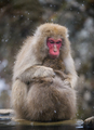 Snow monkey (Japanese Macaque) in a snowstrom, Nakano, Japan - PhotoDune Item for Sale