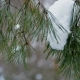 Background of the Winter Forest, the Pine Needles on the Branches of the Pine Are Shown - VideoHive Item for Sale