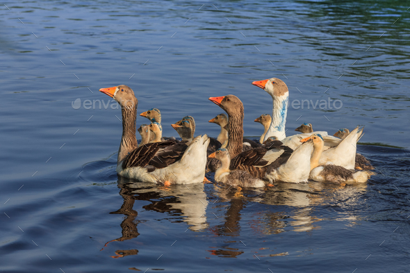 domestic geese on the lake - Stock Photo - Images