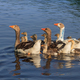 domestic geese on the lake - PhotoDune Item for Sale