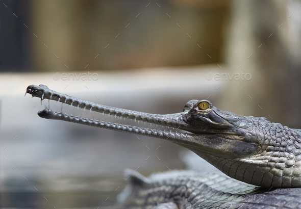 Indian gavial - Stock Photo - Images