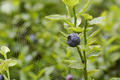Blueberry shrubs and spider web - PhotoDune Item for Sale