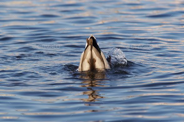 Mallard like a buoy - Stock Photo - Images