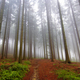 Coniferous forest in fog - PhotoDune Item for Sale