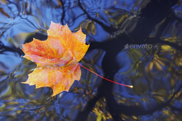 Autumn maple leaf floating on water - Stock Photo - Images