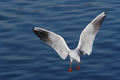 Flying gull above water - PhotoDune Item for Sale