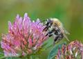 Bumble bee - PhotoDune Item for Sale
