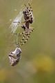 Hunting wasp spider - PhotoDune Item for Sale