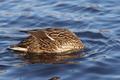 Hunting wild duck - PhotoDune Item for Sale