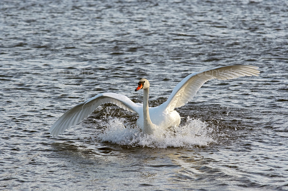 Swan on the water - Stock Photo - Images
