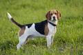 Beagle on meadow - PhotoDune Item for Sale