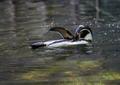 Humboldt penguin - PhotoDune Item for Sale