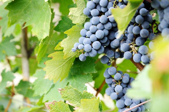 Ripe grape - Stock Photo - Images