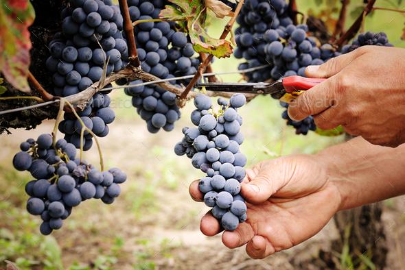 Cutting ripe grape - Stock Photo - Images