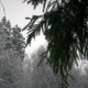 Snowfall. the Tops of the Trees Through Spruce Branches - VideoHive Item for Sale