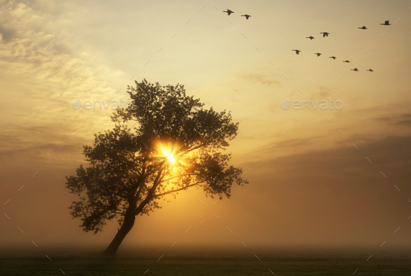 flying geese above a misty meadow - Stock Photo - Images
