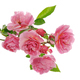 Branch of pink climbing rose - PhotoDune Item for Sale