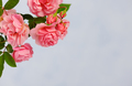 Branch of pink climbing rose - PhotoDune Item for Sale