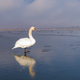 white swan in winter - PhotoDune Item for Sale