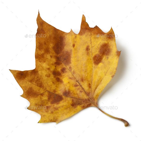 Plane tree leaf - Stock Photo - Images