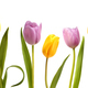 Set of nine pink and yellow tulip flowers - PhotoDune Item for Sale