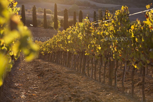 Vineyard among hills - Stock Photo - Images