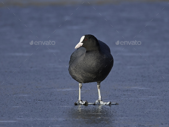 Eurasian coot (Fulica atra) - Stock Photo - Images