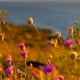 Desert Flowers On The Coast Of Azov Sea - VideoHive Item for Sale