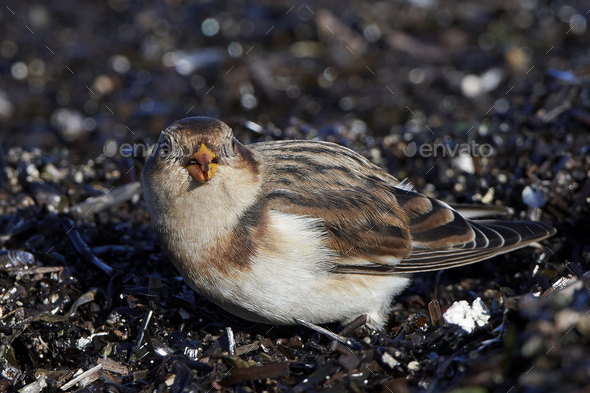 Snow bunting (Plectrophenax nivalis) - Stock Photo - Images