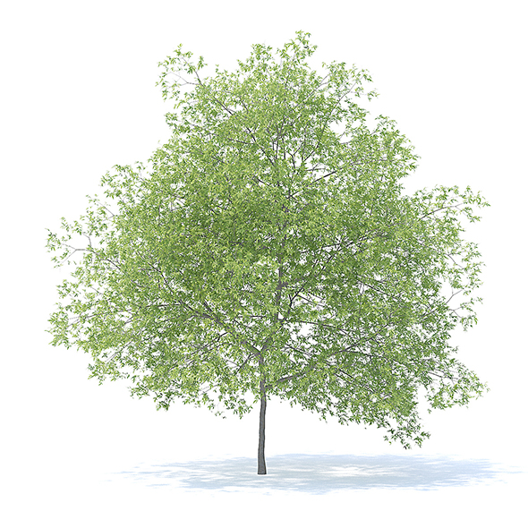 Peach Tree 3D Model 7.5m - 3DOcean Item for Sale