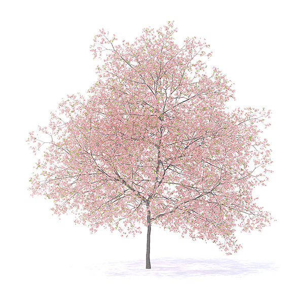 Peach Tree with Flowers 3D Model 7.5m - 3DOcean Item for Sale