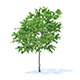 Lemon Tree 3D Model 3.1m - 3DOcean Item for Sale