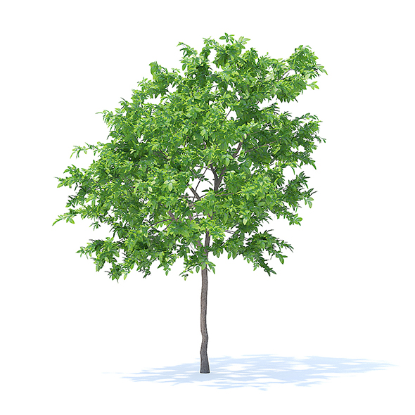 Lemon Tree 3D Model 3.1m - 3DOcean Item for Sale