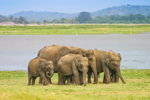 A Herd of Sri Lankan Elephant  - Stock Photo - Images