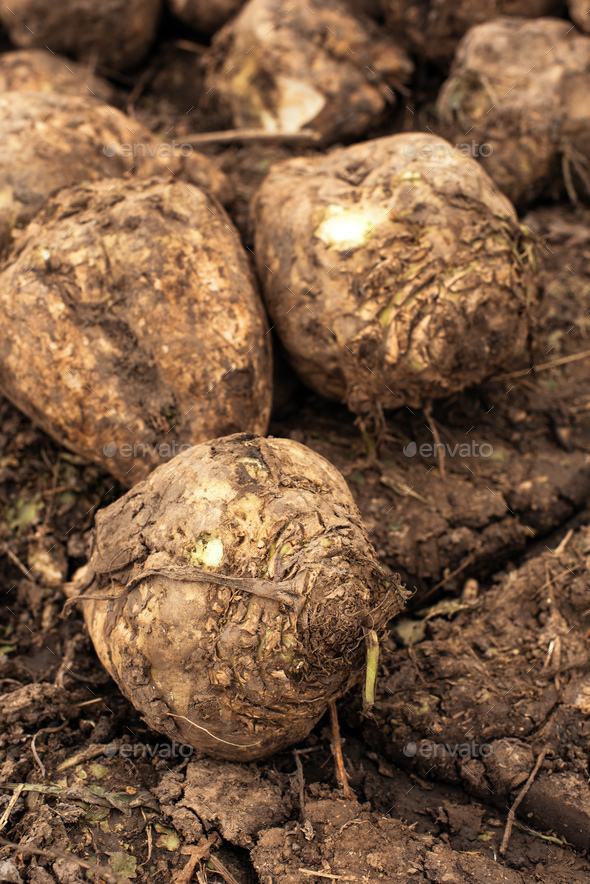 Sugar beet harvest - Stock Photo - Images