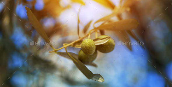 Ripe green olive fruit on branch in organic orchard - Stock Photo - Images