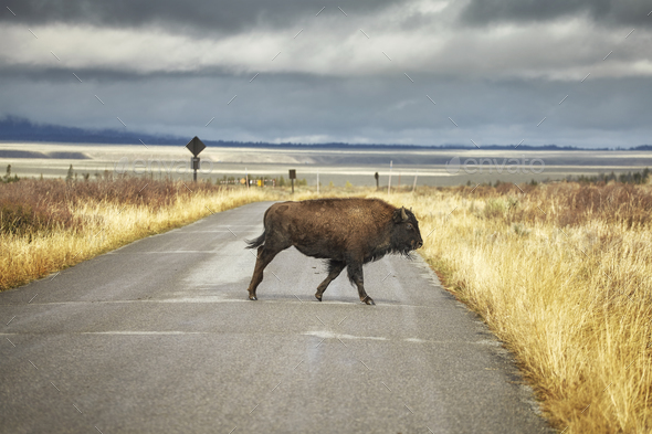 Bison crosses road in Grand Teton National Park, Wyoming, USA. - Stock Photo - Images