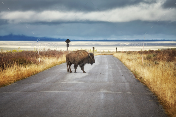 Bison on road in Grand Teton National Park, Wyoming, USA. - Stock Photo - Images