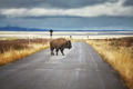 Bison on road in Grand Teton National Park, Wyoming, USA. - PhotoDune Item for Sale