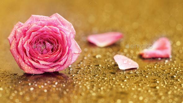 Pink rose flower on golden background - Stock Photo - Images