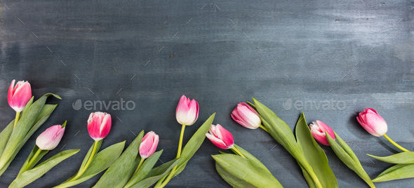 Womens day. Pink tulips on blue background, copy space, top view, banner - Stock Photo - Images