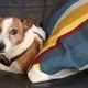 Dog Jack Russell Terrier Lying on the Armchair - VideoHive Item for Sale