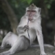 Gray Macaque Monkey, in the Wild Nature in the Tropical Jungle . Monkey Family and Childrens Is - VideoHive Item for Sale