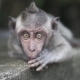 Gray Macaque Monkey, in the Wild Nature in the Jungle. Monkey Is Looking with Wide Opened Eyes To - VideoHive Item for Sale