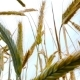 Wheat. Angle From the Bottom Point. - VideoHive Item for Sale